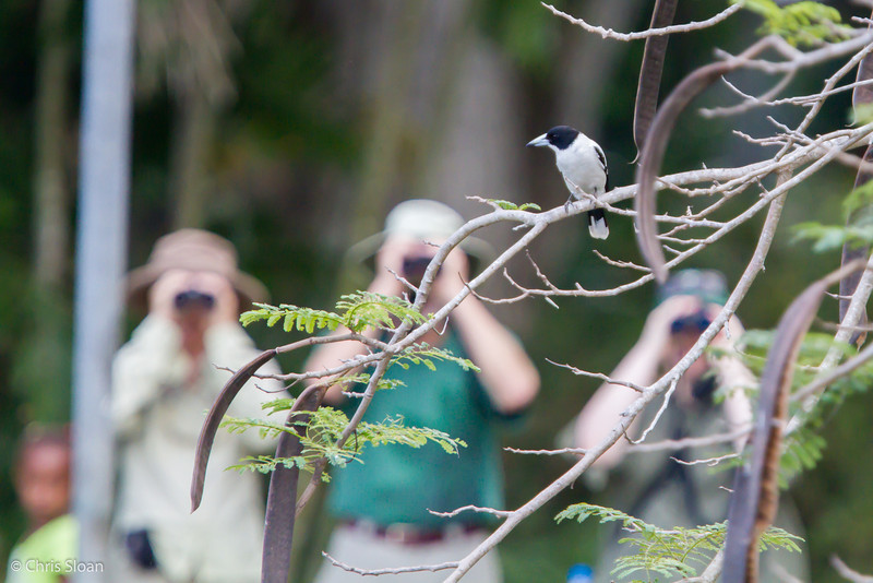 Black-backed Butcherbird at Pacific Adventist University, Port Moresby, Papua New Guinea (09-29-2013) 009-534.jpg