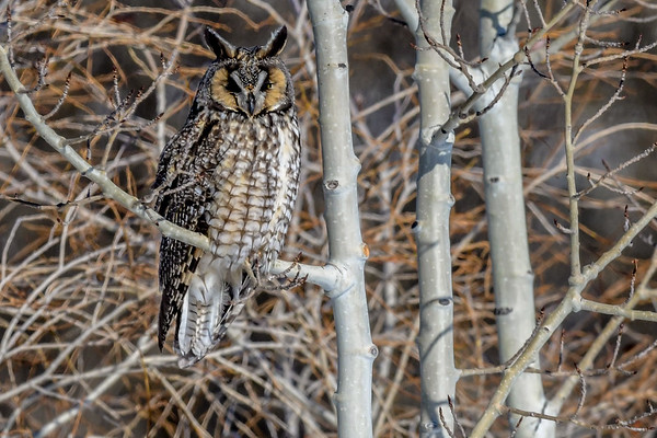 2-26-19 Video Long-eared Owl