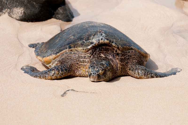 Turtle crawling on the beach - Oahu, Hawaii