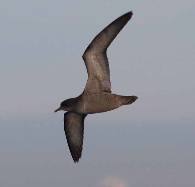 Short-tailed Shearwater  San Diego Waters 2013 01 01 (1 of 2).CR2