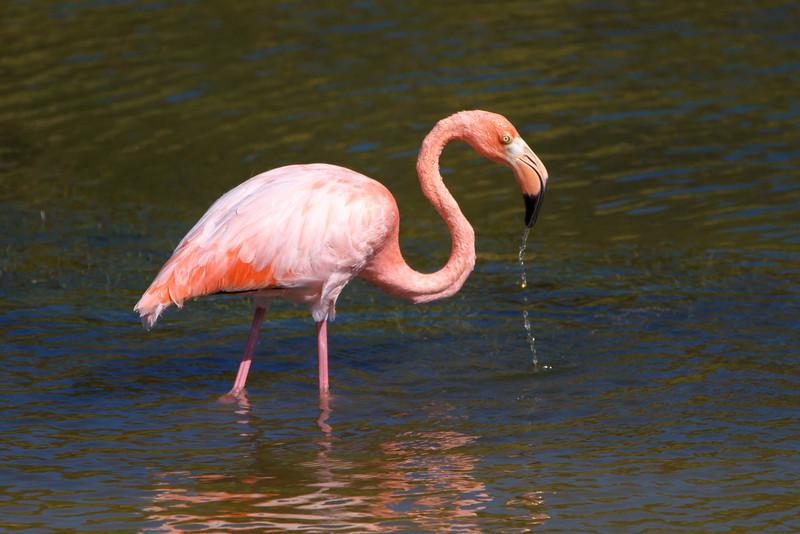 American Flamingo at Punta Moreno, Isabela, Galapagos, Ecuador (11-23-2011) - 918.jpg