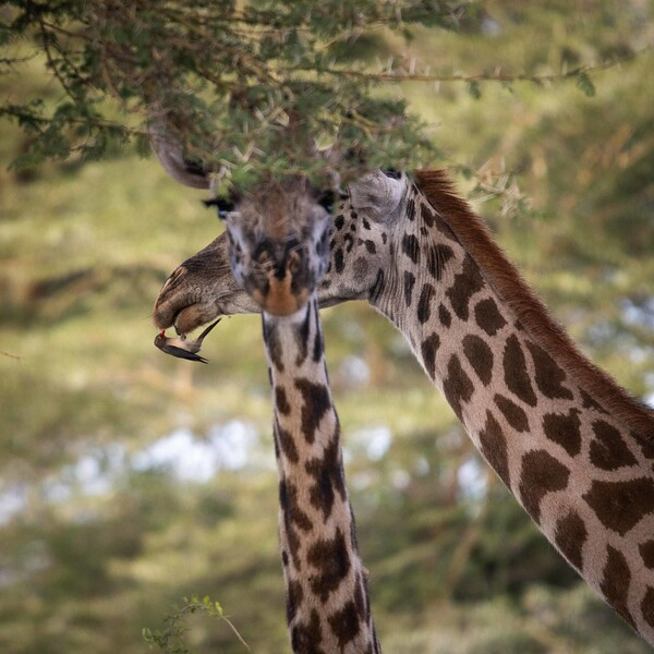 Maasai Giraffe and Red-billed Oxpecker