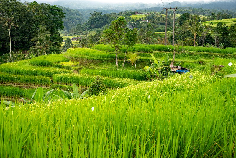 Lush tall green rice crop ready for harvest on the terraces of Bali