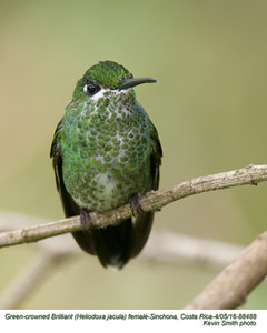 Green-crowned Brilliant F88488.jpg