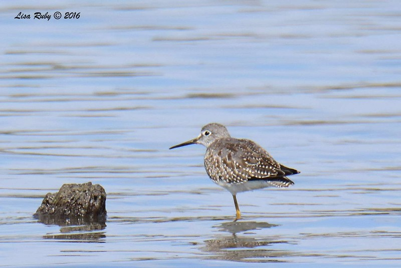 Hmmm. Is this maybe a Solitary Sandpiper? - 9/4/2016 - Sweetwater Reservoir