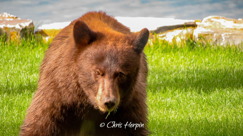 Cinnamon Black Bear - Flathead Lake, Montana