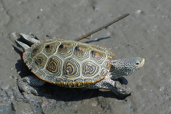 Southern Turtles