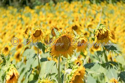 2020 Sunflowers