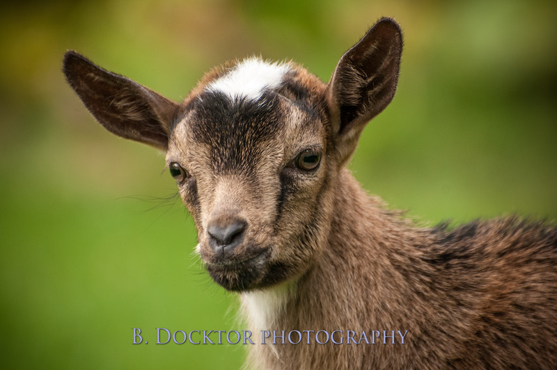 1310_Nigerian dwarf goats_106.jpg