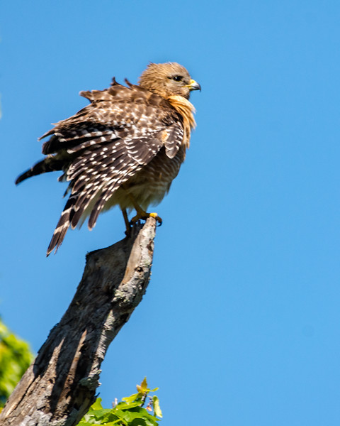 Red Shouldered Hawk - Fluffed Up