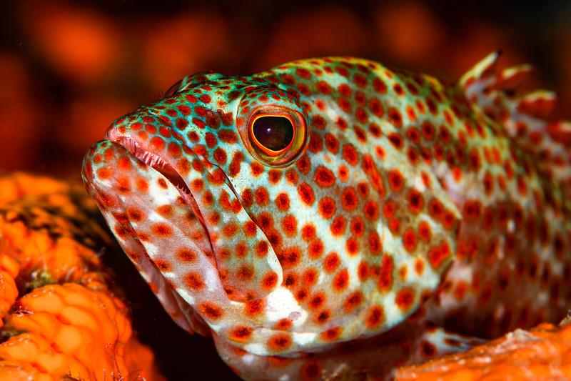 Tiger grouper.jpg