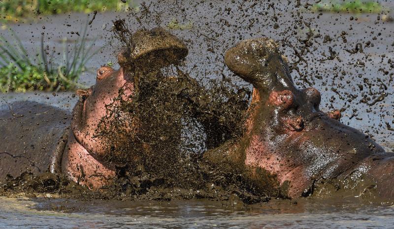 Hippos-tussle-Ngorongoro.jpg