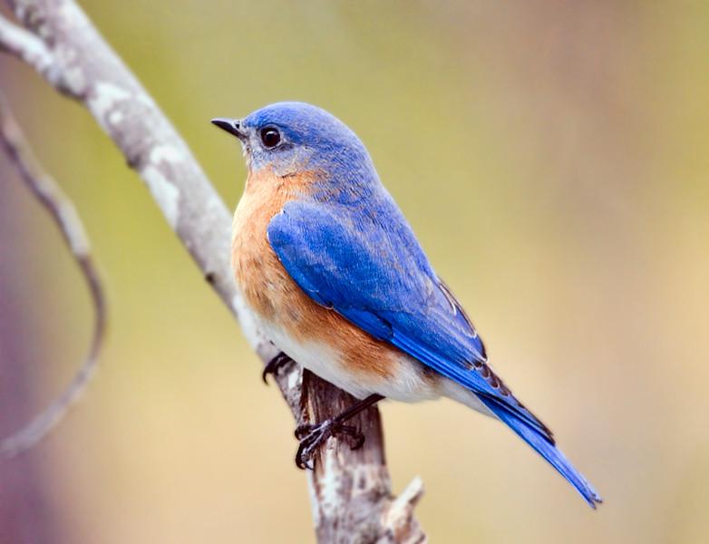 eastern-bluebird_6857751373_o.jpg