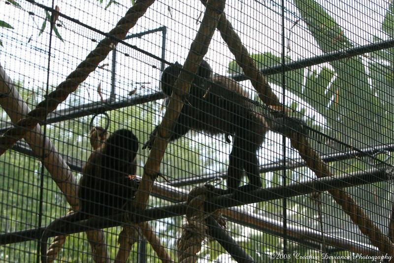 crested capuchin4.jpg