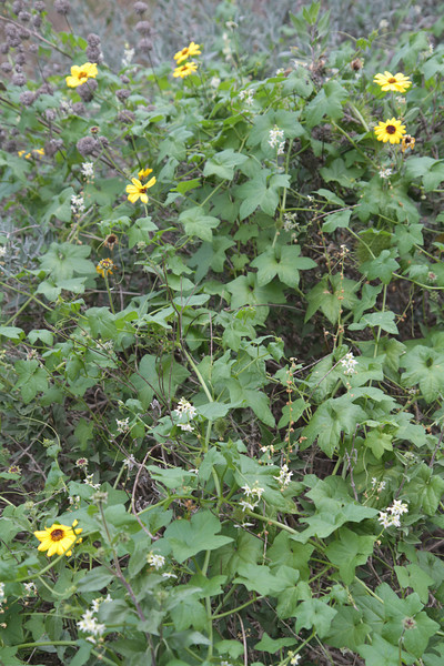 California Bush Sunflower, Encelia californica with Wild Cucumber, Marah macrocarpus
