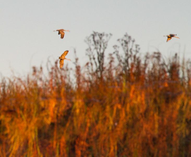 Sandhill Crane flock fly-in reflection Crex Meadows Grantsburg WI IMG_0040.jpg