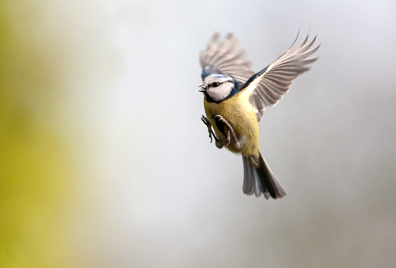 Blue Tit flight 3.jpg