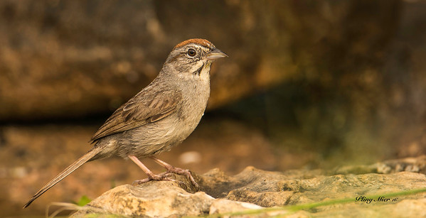 Rufous Crowned Sparrow_DWL0183.jpg