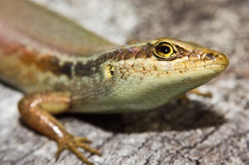 A small lizard on Lizard Ialsnd, AU