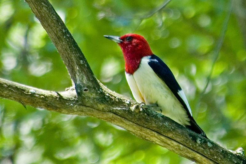 Woodpecker - Red-headed - Anoka County, MN