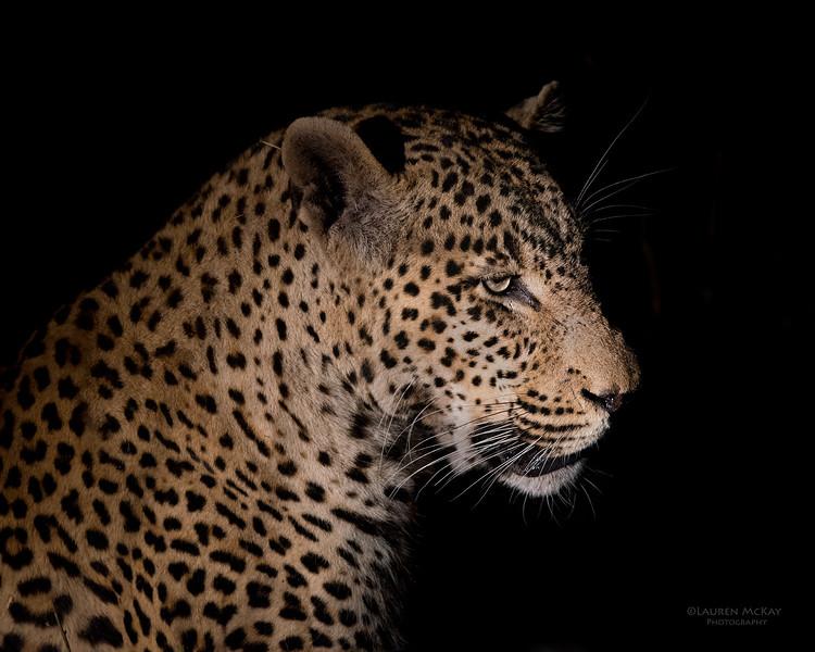 Leopard (Tingana), Sabi Sands (EP), SA, Sept 2015.jpg