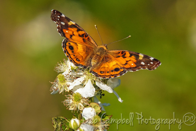 Painted Lady on Blackberry Blossom