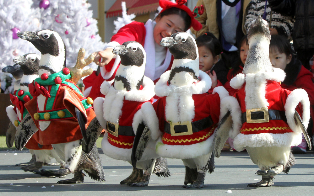 . Penguins dressed in Santa Claus costumes walk, as part of promotional event in coincident with the upcoming Christmas at the Everland amusement park in Yongin, South Korea, Tuesday, Nov. 16, 2010. Christmas is one of the biggest holidays celebrated in South Korea with over half the population being Christians. (AP Photo/Yonhap, Shin Young-gun)