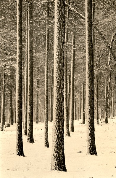 Pine Forest, Sedona, Arizona