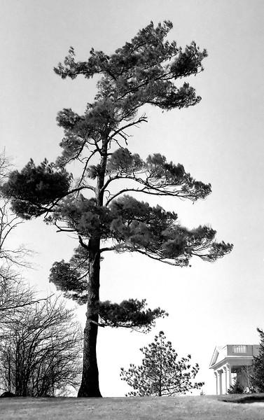 Late Pine - Woodbridge, Ontario, Canada - 1987