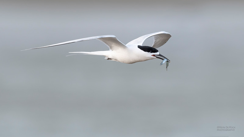 White-fronted Tern, Christchurch, SI, NZ, Sep 2018-13.jpg