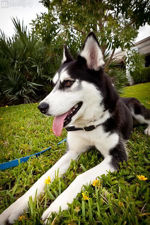0002-South Florida Siberian Husky Rescue-Edit