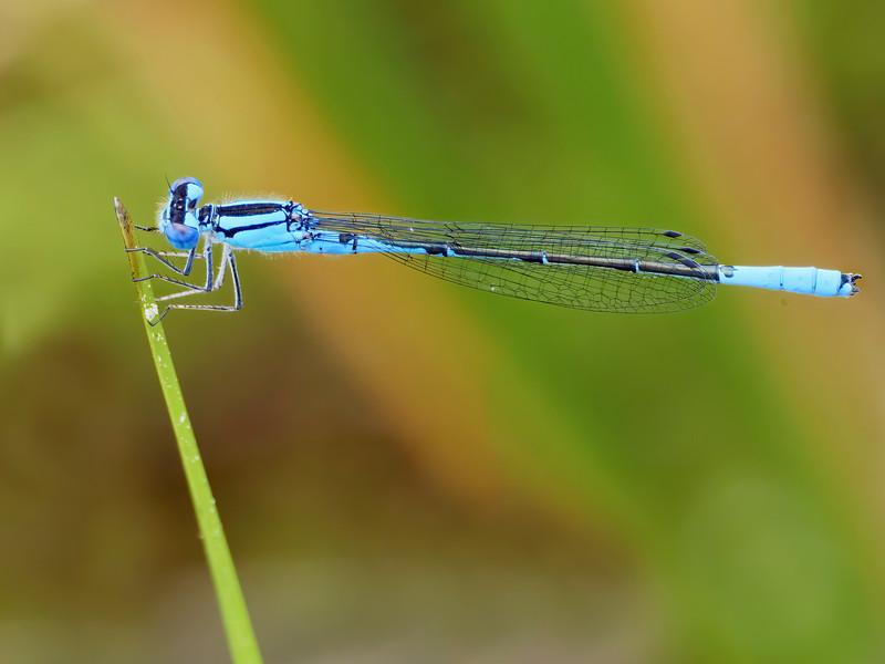 Azure Bluet (Enallagma aspersum), male