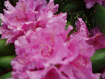 2008 June Rhododendrons Peaked Late June 2008