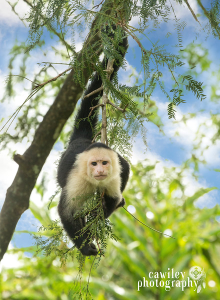 whitefaced monkey copy.jpg