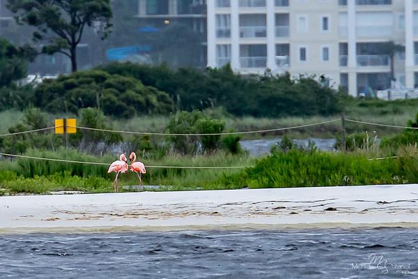 American Flamingo  in Alabama 6.22.17