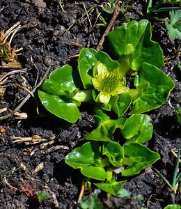 Arrow-leafed Marigold (Caltha sagittata)