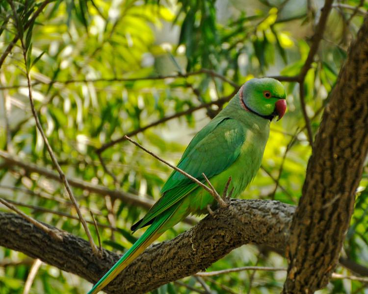 Rose ring parrot. Quite common in India.