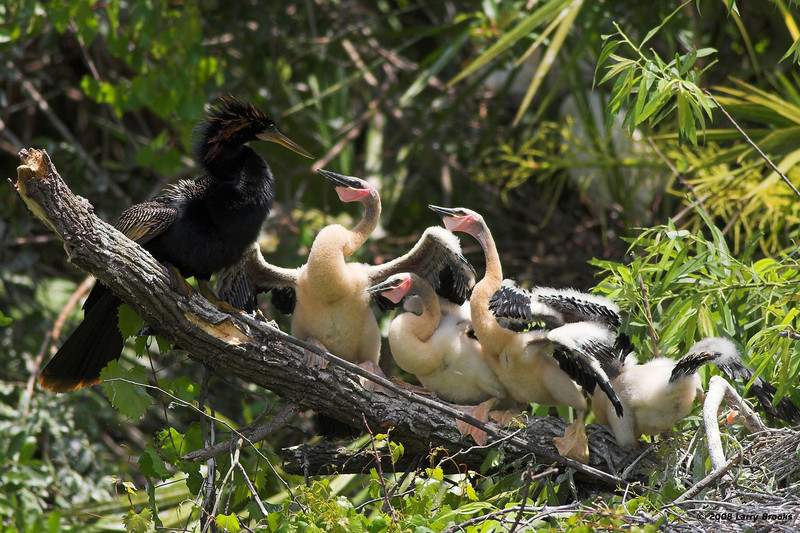 Anhingas have a family meeting at the Gatorland rookery.