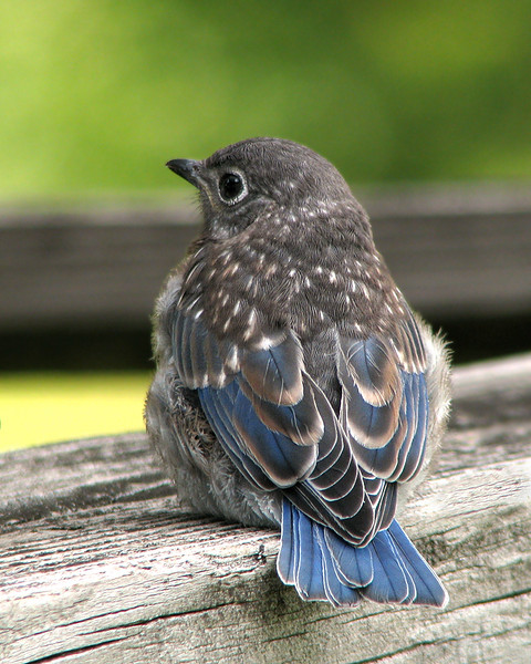 bluebird_fledgling_1552.jpg
