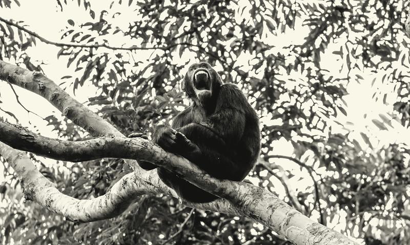 Uganda_T_Chimps-959.jpg