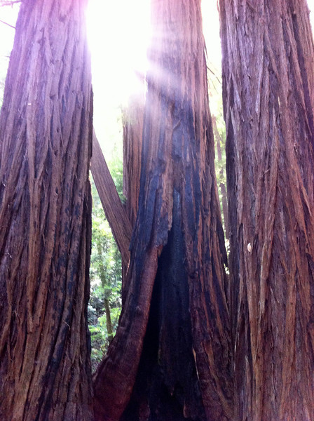 Muir woods!