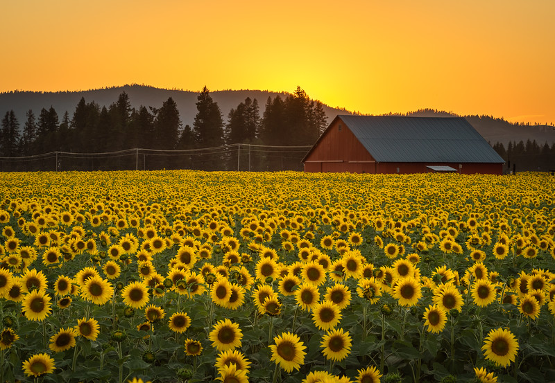sunflowers-5.jpg