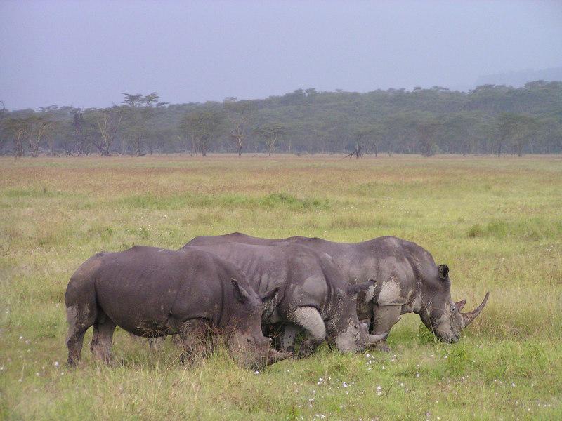 White rhinos near Lake Nakuru in central Kenya.