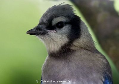 Crested Birds - BlueJays, Cardinals, Titmouse etc