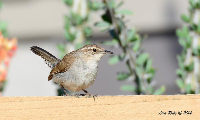 Bewick's Wren - 5/29/14 - Backyard Sabre Springs