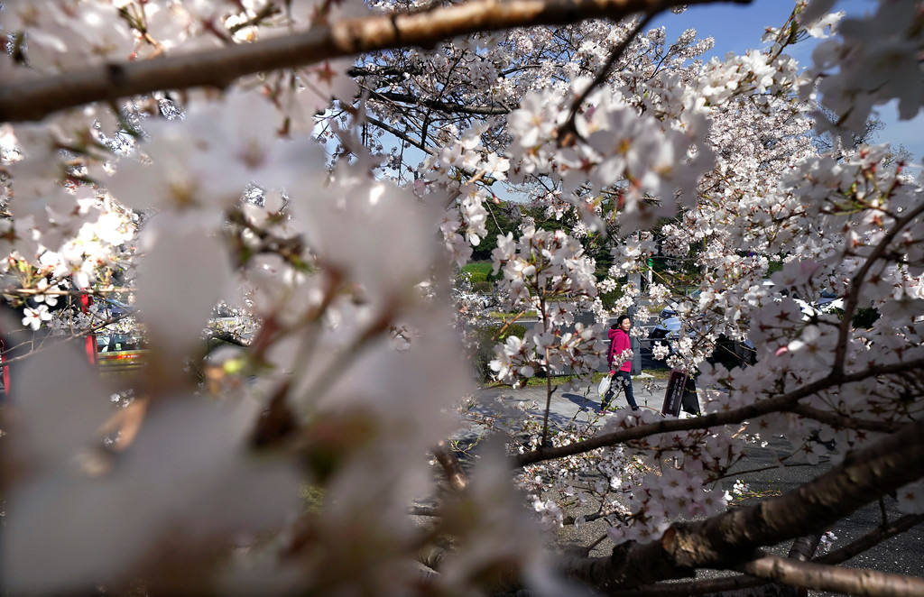 . A woman walks through cherry-blossom trees at Chidorigafuchi in Tokyo, Monday, March 26, 2018.  Japan\'s famous cherry blossoms have reached full bloom in Tokyo as spring-like weather descends on the nation\'s capital. (AP Photo/Shizuo Kambayashi)