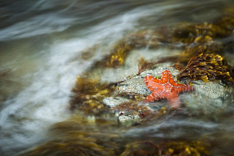 Ochre starfish (Pisaster ochraceus), Vancouver Island, British Columbia