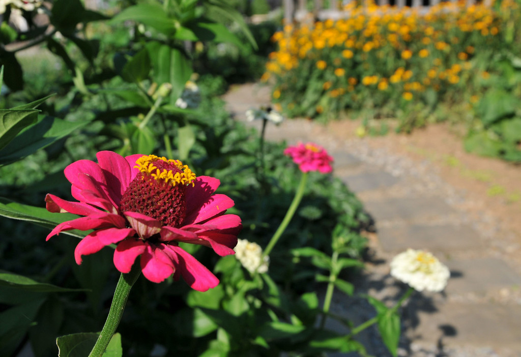 . PHOTO PETE BANNAN- Zinnis are easy to grow like the these in the backyard of Terry Spadoni\'s West Chester row home.