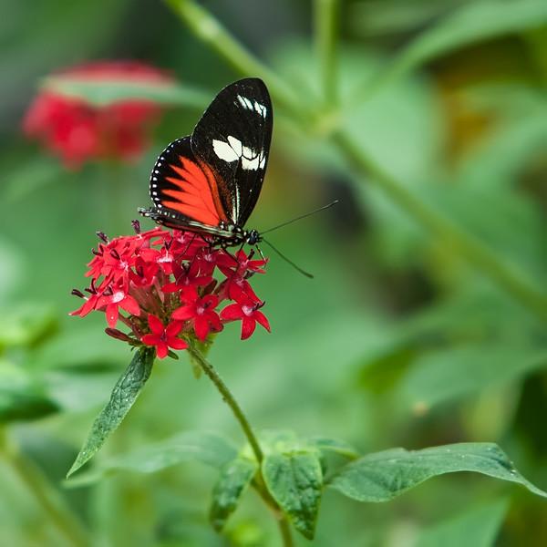 Doris Lacewing, Costa Rica
