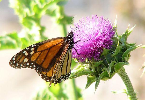 Birds & Butterfly of <BR>Santa Ynez Valley